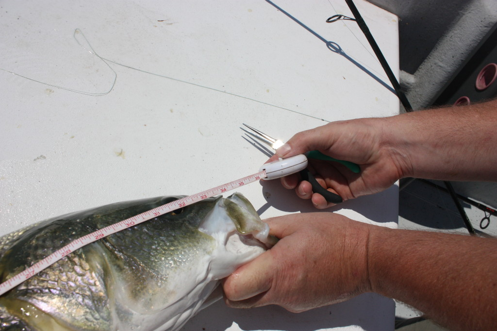 An angler measures a fish for fishing law requirements